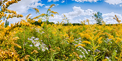 Late Summer Field (hz536n/George Thomas) Tags: 2016 cs5 canon canon5d ef15mmf28fisheyeusm flora michigan prescott summer copyright fisheye flower nik sky upnorth