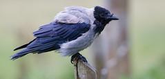 Hooded crow (twodeeswildlife) Tags: crow corvuscornix starrag corvid bird canon perched