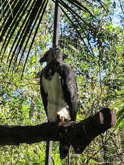 """Le Parc des Oiseaux d'Iguaçu: un aigle royal femelle. Quelle touffe ! ;) <a style=""""margin-left:10px; font-size:0.8em;"""" href=""""http://www.flickr.com/photos/127723101@N04/29642698825/"""" target=""""_blank"""">@flickr</a>"""