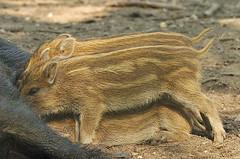 _DSC0430 Wilde Zwijnen / Wild boar (Gert_Paassen new followers, read my profile) Tags: animal boar wild netherlands nederland veluwe gelderland outdoor niederlande natuur nature apeldoorn nikon cropped