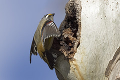 Striated Pardalote 2016-08-07 (60D_2701) (ajhaysom) Tags: striatedpardalote pardalotusstriatus woodlandshistoricpark greenvale melbourne australia australianbirds canoneos60d sigma150600