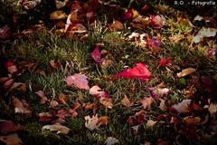 Herbst / Autumn (R.O. - Fotografie) Tags: herbst autumn bltter foliage bunt colorful outdoor natur nature panasonic lumix dmcfz1000 dmc fz1000 fz 1000 bad driburg