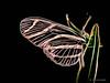 Electric_Butterfly-06 (jamesclinich) Tags: olympus omd em10 jamesclinich corel paintshoppro topaz denoise adjust clarity detail glow handheld availablelight butterfly lubbock lubbocktx texas tx insects sciencespectrum