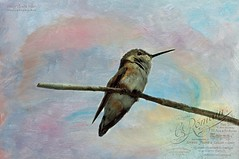 Rufous Hummingbird (Nancy Violeta Velez) Tags: texture birds photography interesting flickr aves animalia feisty rufoushummingbird selasphorusrufus trochilidae chordata nikkor70300 trochiliformes tatot nikond5000 northamericanhummingbirds adobephotoshopelements90windows frenchkisscolorwashvintage2 nancyvioletavelez~photographicart frenchkissartisteaventura