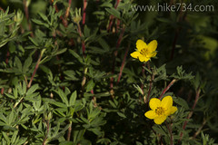 "Shrubby Cinquefoil • <a style=""font-size:0.8em;"" href=""https://www.flickr.com/photos/63501323@N07/7107781933/"" target=""_blank"">View on Flickr</a>"