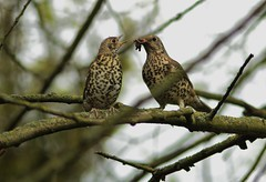 mistle thrush fledgeling just out of the nest (pippa sutt) Tags: staffordshire cannockchase fledgeling mistlethrush