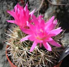3393-3691-2012-04-001 (Robby's Sukkulentenseite) Tags: sammlung subgibbosa neoporteria ka3393e sa3691k
