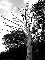 Black and White Tree (Georgina Smith Photography) Tags: england sky white black tree nature field clouds photography bush natural walk smith hempstead bark hedge forms around lightning hemel georgina