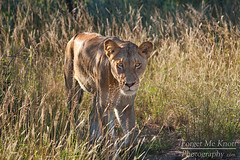 The Look (Brian Knott Photography) Tags: africa park game grass walking southafrica lion reserve safari national kruger savanna ngala brianknott forgetmeknottphotography fmkphoto
