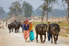 Bringing home the buffalo (whitworth images) Tags: road nepal people animal rural walking buffalo women asia farm stock east beast livestock agricultural koshi herding kosi koshibirdobservatory