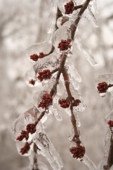 Ice on tree (MimiT5) Tags: plants landscapes habitat