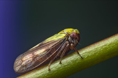 Leafhopper - Oncopsis species (Rense Haveman) Tags: macro netherlands garden europe manualfocus leafhopper unidentified auchenorrhyncha pentaxaf360fgz diyflashdiffuser pentaxk5 panagor90mmf28pmcautomacro reversedsmcpentaxa5017