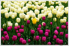 NYC tulip (Lanfranco_B) Tags: nyc flowers white flower yellow purple tulips giallo tulip fiore viola bianco tulipano tulipani