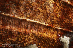 Scales of a Question Mark (J.P. Lawrence Photography) Tags: usa animals bug insect unitedstates unitedstatesofamerica insects places bugs lepidoptera questionmark northamerica arkansas arthropods arthropoda invertebrate invertebrates entomology arthropod ouachitanationalforest insecta nymphalidae polygonia polygoniainterrogationis ouachitariver dragoverrecreationarea