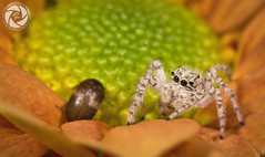 Spider (RASHID ALKUBAISI) Tags: nikon nikkor d3 2012 qatar rashid d4 راشد بوخليفة خليفة قطر بوخليفه ماكرو d3x nikond4 alkubaisi d3s عنكبوت الكبيسي ralkubaisi mygearandme wwwrashidalkubaisicom