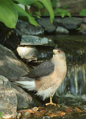 Cooling My Heels (Magnificat Photos) Tags: bird nature water canon backyard iowa xsi coopershawk bridofprey