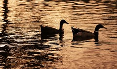Northwest Mallard Ducks (Casey Louise Photography) Tags: sunset lake reflection nature silhouette oregon evening pond nikon ducks mallard ripples lovebirds duckpond oregonducks mallardduck oregonwildlife mallardducks d90 ducksilhouette caseylouise northwestducks
