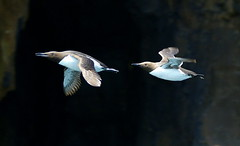 Guillemots... (SteveJM2009) Tags: uk detail eye speed flying spring wings focus pair flight beak may cliffs dorset swanage 2012 plumage stevemaskell guillemot uriaaalge durlston explored durlstoncountrypark