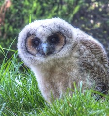 Baby Owl (nilacop) Tags: nature birds wildlife chick owl babyowl