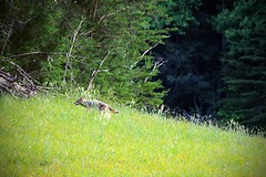 Coyote - Cades Cove (Seth Berry Photography) Tags: coyote dog mountains nature field grey photographer cove tennessee meadow northcarolina pasture valley smokey smoky smokies smokymountains cadescove cades sethberryphotography
