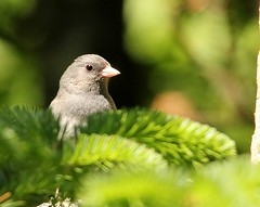Dark-eyed Junco (mbmcclintock) Tags: haystack