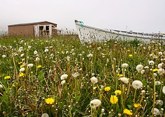 In a Sea of Dandelions (Karen_Chappell) Tags: old canada field newfoundland boat fishing scenery shed scenic atlantic avalon nfld dandelions eastcoast ferryland