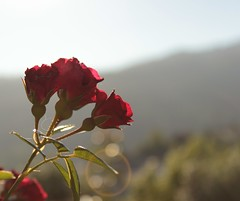 Flattering (Luis Freitas | Photography) Tags: life red sun color art love nature field leaves contrast petals shine group deep shade passion flare strength simple