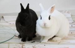 Hasi und Panny (blumenbiene) Tags: pets rabbit bunny wohnung haustier hase kaninchen hasen rammler karnickel zwergkaninchen hotot häsin