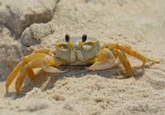 Ghost Crab (KoolPix) Tags: beach nature sand ghost crab antenna jonesbeach claws naturephotography naturephotos ghostcrab naturephotographer koolpix photocontesttnc12 jaydiaz