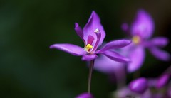 1 of a cluster (BigMs.Take) Tags: flowers nikon dof purple bokeh clusters mauve groundorchids bangladesh perennials d300 florets spathoglottisplicata terrestrialorchids bangladeshiflowers excellent flickrfriends naturespoetry~~level1