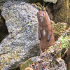 A Patriotic Mink (Peggy Collins) Tags: canada seaweed britishcolumbia mink pacificnorthwest curious lowtide canadaday attentive sunshinecoast curiousity onguard americanmink standingatattention peggycollins minkstanding