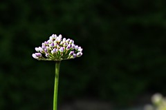 Stand Strong (Lori Garske) Tags: flowers garden ornamental ornamentalonion