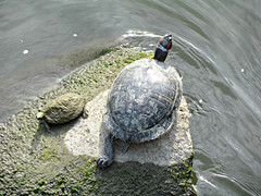 I'll have to do some research to see what kind of turtles these are (debstromquist) Tags: illinois riverside il turtles rivers animalplanet lowwater allgodscreatures lyons sliders naturelovers desplainesriver trachemysscripta naturenolimits naturerules theillinoisdirectory outdoorlifescenery