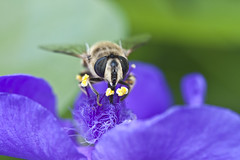 blue bee (52 grams) Tags: canon fbdg