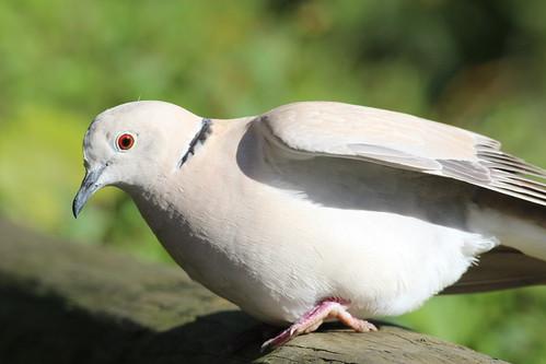 Essay pigeon in hindi