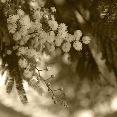Delicate (Martha M G Raymundo) Tags: flowers trees blackandwhite bw nature yellow square blackwhite mimosas mmgr canoneosdigitalrebelxs marthamgr marthamariagrabnerraymundo marthamgraymundo