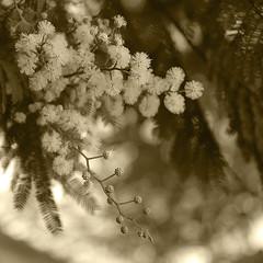 Delicate (Martha MGR) Tags: flowers trees blackandwhite bw nature yellow square blackwhite mimosas mmgr canoneosdigitalrebelxs marthamgr marthamariagrabnerraymundo marthamgraymundo