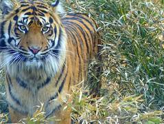 Watch out! Tiger ! (Frans.Sellies) Tags: zoo tiger poland piling tijger tigre wroclaw kaplan bengaltiger pantheratigris breslau tygrys harimau トラ 老虎 טיגריס tiikeri 호랑이 тигр tigru pantheratigristigris hổ 孟加拉虎 ببر τίγρησ tīģeris tygrysbengalski বাঘ बाघ वाघ ベンガルトラ тигар ಹುಲಿ p1450623 بەور व्याघ्र