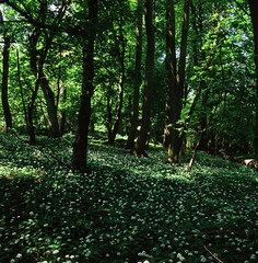 Pockets of light (IanAWood) Tags: 120 6x6 woodland mediumformat nt buckinghamshire squareformat wildflowers nationaltrust fujivelvia50 wildgarlic hasselblad500cm ashridgeestate thecoombe ringshall notwalkingwithmynikon