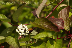 "Redosier Dogwood • <a style=""font-size:0.8em;"" href=""http://www.flickr.com/photos/63501323@N07/7565186554/"" target=""_blank"">View on Flickr</a>"