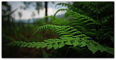 Fern (N.joshi1776) Tags: mountains fern green nature forest triund savebeautifulearth triundhill