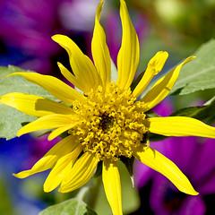 Serendipitous Sunflower (madlyinlovewithlife) Tags: flowers flower yellow sunflowers sunflower simplyflowers blackoilsunflower mygardenschool