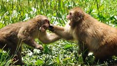 Combat de singes - Monkey fight (VdlMrc) Tags: nature animal monkey fight nikon action combat singe japanesemacaque d90 macaquejaponais nikkor55300mm