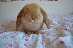 Cutieee (mylo_rabbit) Tags: pink flowers sleeping pet baby flower cute rabbit bunny love floral smile face animal vintage mouth relax lunch ginger yummy bed furry friend funny nap yum eating sleep expression linen lol girly dream adorable handsome fluffy ears banana lips sheets dreaming whiskers sleepy eat snooze asleep naptime relaxed facial duvet mylo nanner houserabbit lop snoozing bedlinen minilop