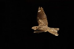 Panning for gold.In flight Male Nightjar,Caprimulgus Europaeus (trickydicky1964) Tags: summer male bird nature birds night inflight dusk wildlife north norfolk explore camouflage heath handheld british nightshots 2012 heathland nightjar site1 europaeus caprimulgus nightjars canon450d canonspeedlite430exii sigma150500mmf563dgoshsm glavenvalley trickydicky1964