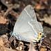 Butterfly / Favonius yuasai / 黒緑小灰蝶(クロミドリシジミ)