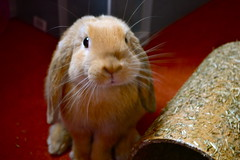 (mylo_rabbit) Tags: pet baby cute rabbit bunny bunnies love face animal ginger paw furry friend expression adorable handsome fluffy whiskers rabbits paws companion lapin mylo houserabbit minilop cuteoverload