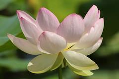 IMG_3974 (MUMU.09) Tags: photo foto lotus flor  bild blume fiore  imagem     flori       fiorediloto hoasen flordeloto  lotusblomma floweroflotus   lotosblume fleurdelotus     ltuszvirg kwiatlotosu  lotusblomst lotusblth lotusblm   lotosovkvt lotusiei mumu09