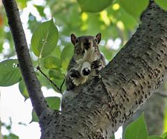 OM NOM NOM (Maia C) Tags: toronto ontario canada squirrel highpark comment citypark nom maiac sonydschx1