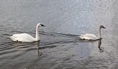Trumpeter Swan / Tundra Swan (David Badke) Tags: bird bc colwood